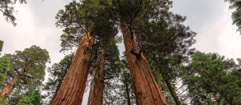 Sequoia Trees